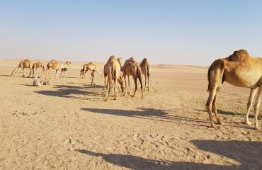 Dubai-Safari-Plus-Camel-Rock-Safari-Maliha